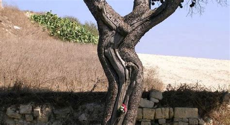 Discover the Jesus Tree of Malta, a symbol of devotion and