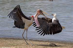 Stork and an eagle fight over a fish in pictures from