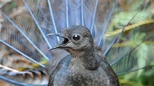 That's no video game - it's a lyrebird called Chook › News
