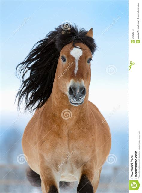 Horse Gallops In Winter, Front View