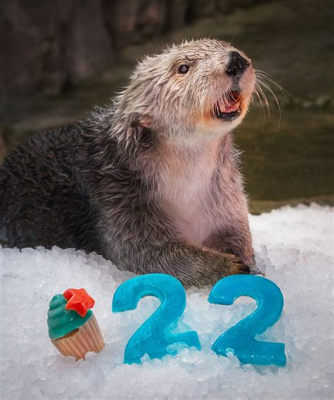Charlie, the oldest living southern sea otter, dies at 22